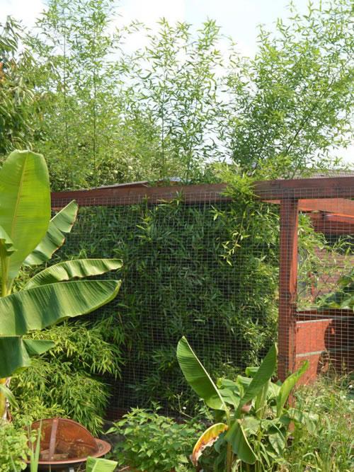 Bambussperren - wild gewachsener Bambus